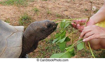 tortue, femme, seychelles