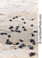 tortue, hatchlings