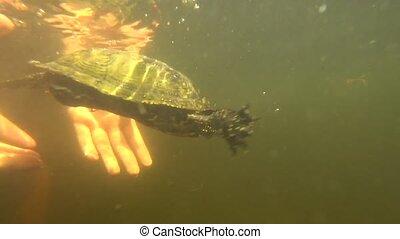 tortue, libéré, eau
