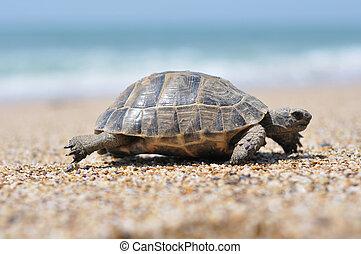 tortue, marche, manière