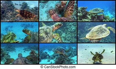 tortue, mur, sur, vidéo, récif, corail, natation