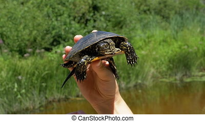 tortue, peu, fond, femelle transmet, rivière
