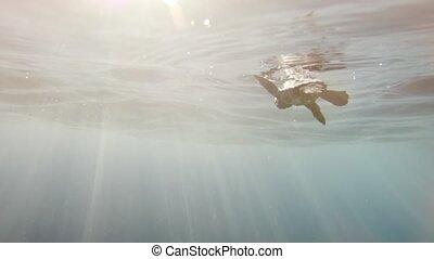 tortue, rare, ocean., métrage, après, entrer, bébé, incredibly, mer