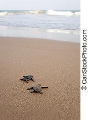 tortues, hachuré, bébé, récemment, hâte, aqueux, élément