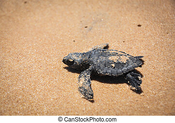 tortuga, bahia, mar, alcance, luchas, praia, forte, bebé,...
