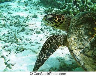 tortuga, barrera coralina