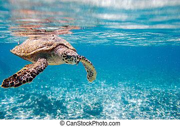 tortuga de hawksbill, mar