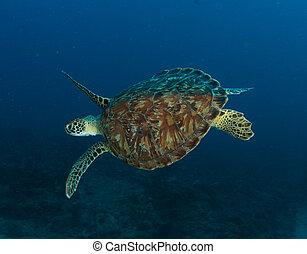 tortuga, florida., verde, arrecife, este, sur