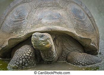 tortuga, gigante,  Galapagos, islas,  Ecuador