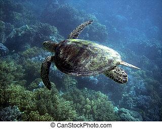 tortuga, grande, arrecife, barrera, mar