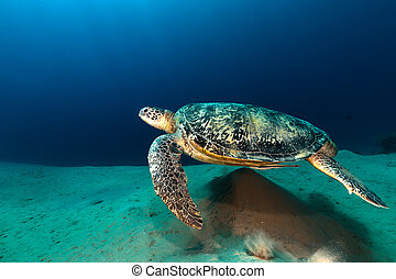 tortuga, macho, verde, sea., rojo