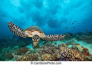 tortuga mar hawksbill, en, océano indico