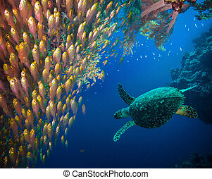 tortuga mar hawksbill, (eretmochelys, imbricata)
