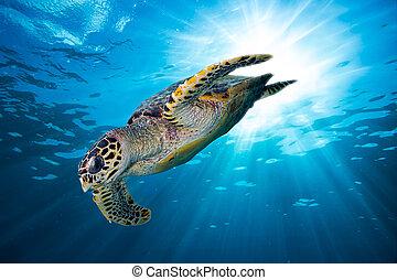tortuga mar hawksbill, zambullida abajo, en, profundo,...