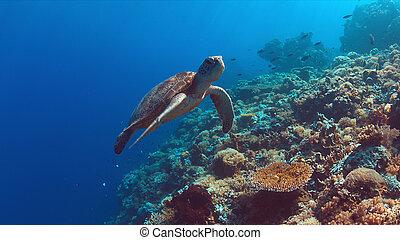 tortuga marina, arrecife, verde, nada, coral