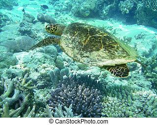 tortuga, y, barrera coralina
