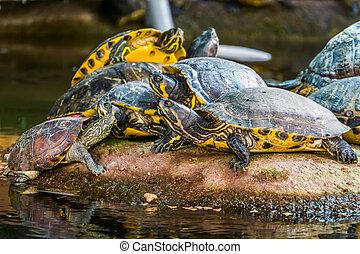tortugas, típico, animal, américa, tropical, comportamiento...