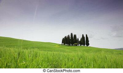 toscane, contre, champ vert, petit groupe, cyprès
