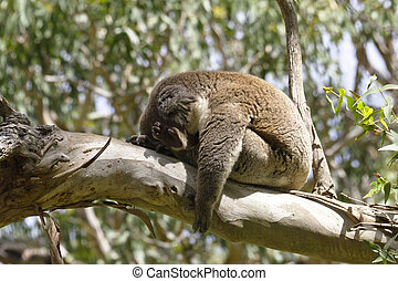 Wild koala in a state of total sleep, arm limp and slumped forward, on the sunlit branch of a gum tree. Posture is both amusing and winsome. Location is Australia's Cape Otway in Victoria.