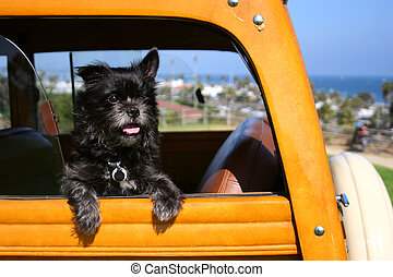 A Toto-like dog, a terrier, sits in the open window of a woody wagon in Santa Barbara, California, waiting for his owners to return.
