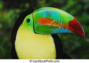 Keel-Billed Toucan closeup