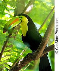 toucan., billed, regnbue, smukke, køl, eller