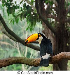 Toucan bird on tropical tree - Toucan bird seating on ...