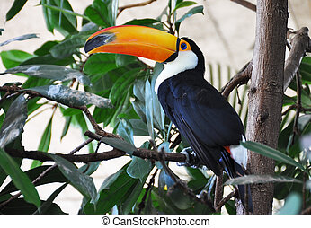 Toucan bird