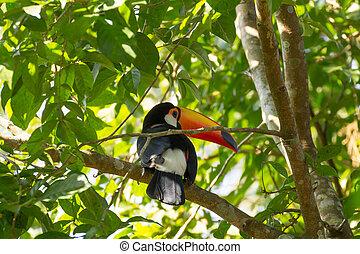 toucan, foz, iguazu, nature, oiseau, brésil