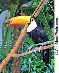 toucan, fugl