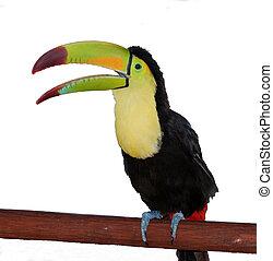 toucan, isoleret