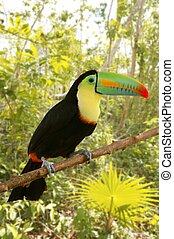 toucan kee billed Tamphastos sulfuratus jungle - toucan kee...