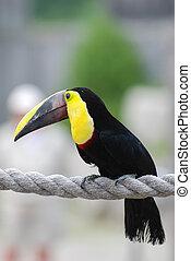 toucan, oiseau