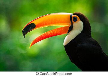 toucan, portrait, toco, profil