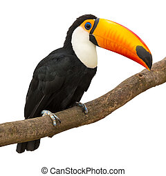 Toucan (Ramphastos toco) sitting on tree branch isolated on...