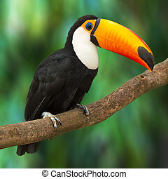 Toucan (Ramphastos toco) sitting on tree branch in tropical...