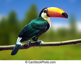 toucan, toco, wildness, contre