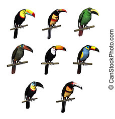 toucan, variétés