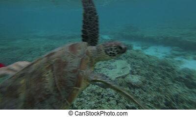 Touching A Sea Turtle, GBR, Lady Elliot Island