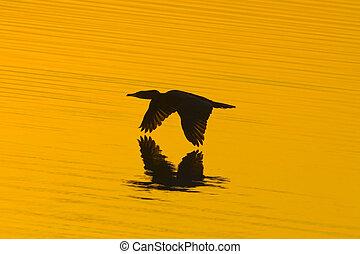 Touching golden water - cormorant in flight