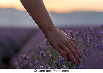 Touching the lavender at beautiful sunset