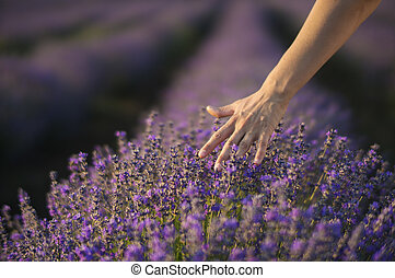Touching the lavender - Female hand gently touching the tops...