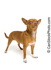 Tough Chihuahua isolated on a white background