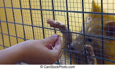 UltraHD video - Tourist handing bits of food to a friendly and unusually colored, white raccoon, in his cage at a zoo.