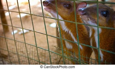 Tourist, hand feeding a pair of tiny chevrotains through the wire mesh of their habitat enclosure at a popular petting zoo. Video UltraHD