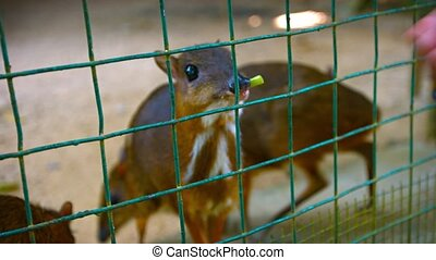 Video 4k - Tourist passes bits of vegetables through the wire to a herd of waiting chevrotains.