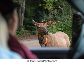 Tourist Safely Observe Elk Cow From Truck as the rut begins...