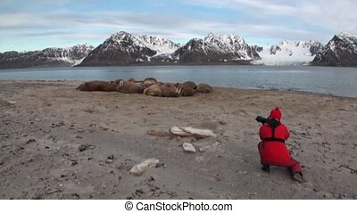 Tourist takes pictures photographs group of walruses on...