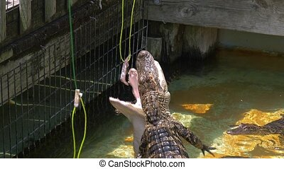 Hungry alligators on the farm. - Tourists feed young...
