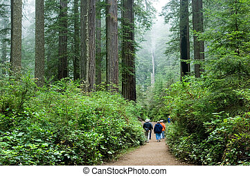 Tourists in Redwoods - Tourist viewing Redwood national park...